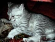 Британские котята ВИСКАС от титулованных производителей