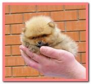 Померанского шпица щенки в Краснодаре из Краса Кубани