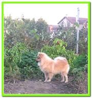 Миниатюрного  шпица подрощенный щенок в Краснодаре из Краса Кубани