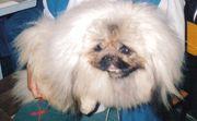 Пекинеса очаровательные щенки