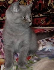 Голубая британочка из питомника «Home Bastet».