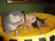 Экзотические короткошерстые котята