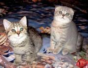 Клубная девочка скоттиш-фолд 2 мес,  окрас голубое пятно тебби