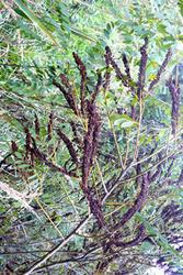 Семена аморфы декоративнго кустарника и прекрасного медоноса